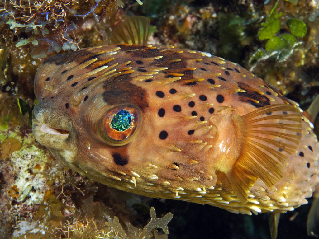 I've Seen That – Balloonfish